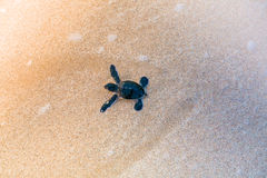 Little sea turtle on the beach Royalty Free Stock Images