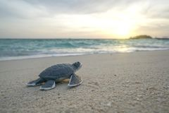 Free Little Sea Turtle On The Sandy Beach In Morning Stock Photos - 115690143