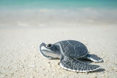 Little sea turtle on sandy beach. Little sea turtle on the sandy beach Royalty Free Stock Photos