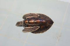 Little Sea turtles Stock Photos