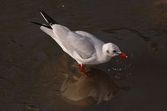 Little seagull eating Royalty Free Stock Photos