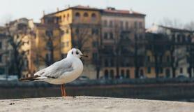 Little seagull Larus minutus in the urban area of Verona Stock Photos