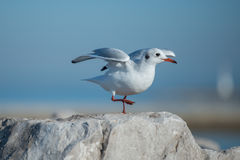 Little Seagull on the rock. Little Seagull standing on one feet on the rock by the sea Royalty Free Stock Photography