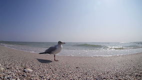 Little seagull stands on the beach while sea waves run up the coast stock footage