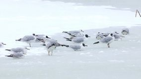 Seagulls breaking the ice on a lake, winter season. A little seagulls looking for fish on a frozen lake in winter - Danube Delta, Romania stock footage
