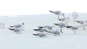 Seagulls breaking the ice on a lake, winter season. A little seagulls looking for fish on a frozen lake in winter - Danube Delta, Romania stock video footage