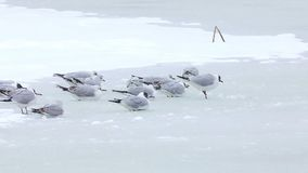 Seagulls breaking the ice on a lake, winter season. A little seagulls looking for fish on a frozen lake in winter - Danube Delta, Romania stock video