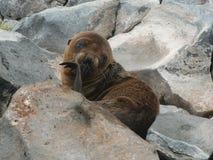 Little seal Stock Photo
