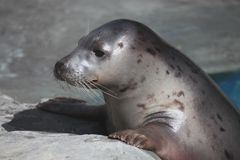 Little seal Royalty Free Stock Image