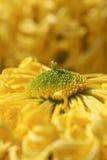 The little secret of the chrysanthemum Royalty Free Stock Photo