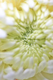 The little secret of the chrysanthemum Royalty Free Stock Photography
