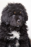 Little security guard - black and red puppy of Tibetan mastiff Royalty Free Stock Images