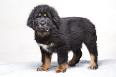 Little security guard - black and red puppy of Tibetan mastiff Royalty Free Stock Photography
