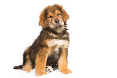 Little security guard -  red puppy of Tibetan mastiff Royalty Free Stock Image
