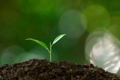 Little seedling germinate. Selective focus a a little seedling germinate from a black soil stock photos
