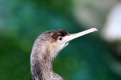 Little shag head. On green background Royalty Free Stock Photography