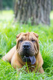 Little sharpei puppy portrait Royalty Free Stock Photography