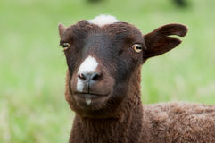 Little sheep Stock Photography