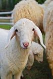 Little Sheep Stock Image