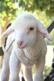 Little Sheep. In a farm Stock Photos