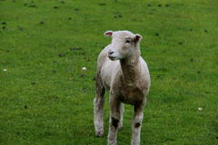 Little sheep on the farm Royalty Free Stock Photo