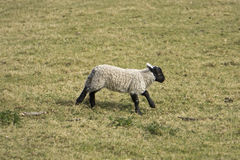 Little sheep in the meadow Stock Photos