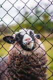 Little sheep looking through the fence royalty free stock image