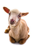 Little sheep Royalty Free Stock Photography