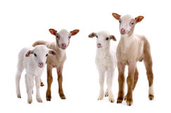 Little sheeps Royalty Free Stock Images