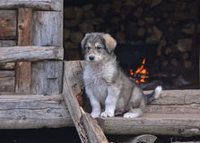 Little shepherd dog Royalty Free Stock Images