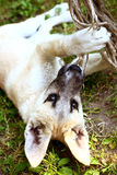 Little shepherd puppy chew falling rope on the ground Royalty Free Stock Photography