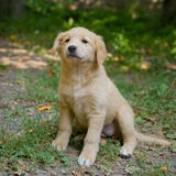 Little shepherd puppy on grass. Square photo Stock Photo