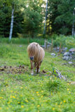 A little shetland pony walking on grass Stock Images