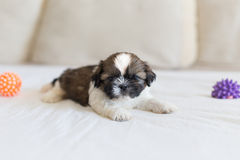 Little shih-tzu pup on the soffa Royalty Free Stock Photo