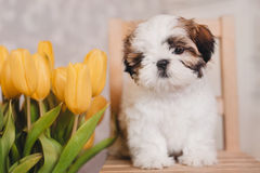Little Shih-tzu puppy portrait with yellow tulips, grey background stock image