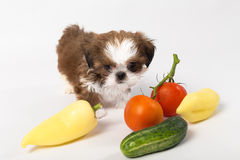 Little shih tzu puppy with vegetables. Isolated on the white background royalty free stock photos