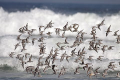 Little shorebirds in flight Stock Photo