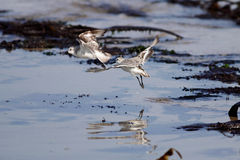 Sanderlings flight Stock Images