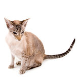 Little siamese cat Stock Photo