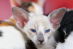 Little Siamese kitten Royalty Free Stock Image