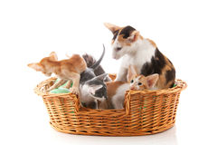 Little Siamese kittens and mother cat Stock Photo