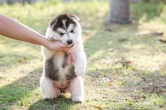 Little Siberian husky puppy biting the hand Royalty Free Stock Images