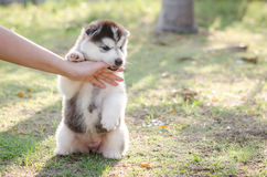 Little Siberian husky puppy biting the hand Royalty Free Stock Photo