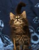 Little Siberian kitten Stock Photo