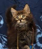 Little Siberian kitten Royalty Free Stock Photo