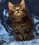 Little Siberian kitten Stock Photography