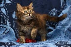 Little Siberian kitten Royalty Free Stock Photography