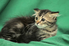 Little Siberian kitten with a frightened look Stock Photo