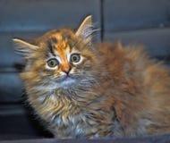 Little Siberian kitten Stock Photos