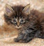 Little Siberian kitten Royalty Free Stock Photos